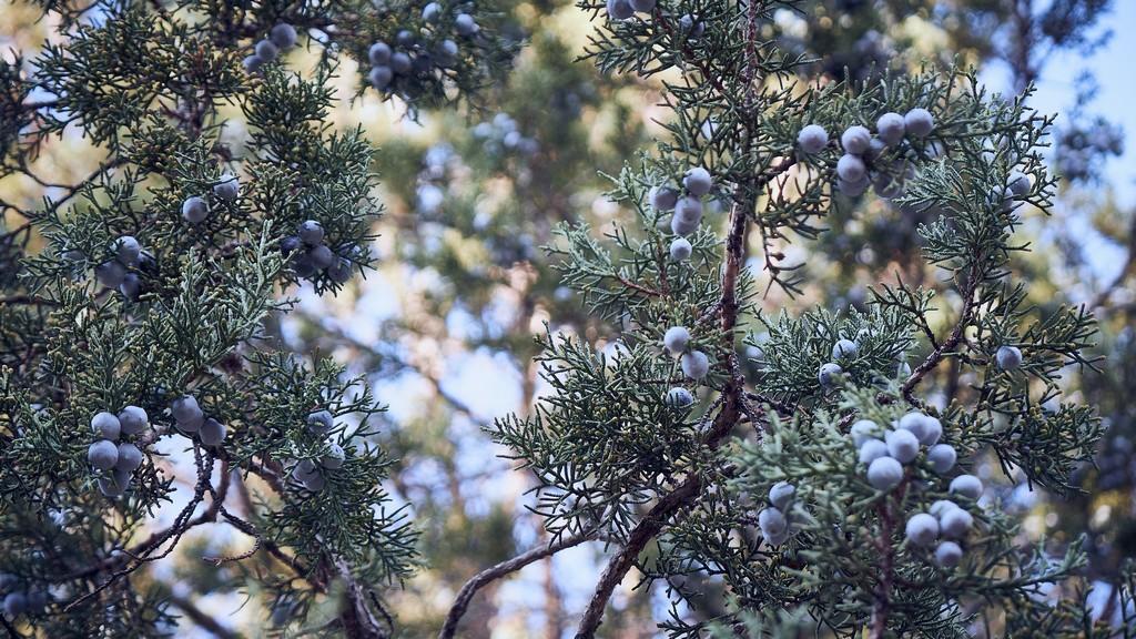 baies de genièvre sur l'arbre