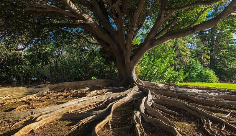 arbre de vie avec les racines apparentes